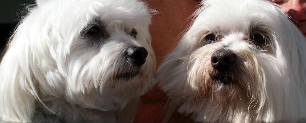Un mariage de chiens !