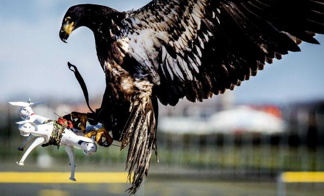 Les aigles pour capturer des drones