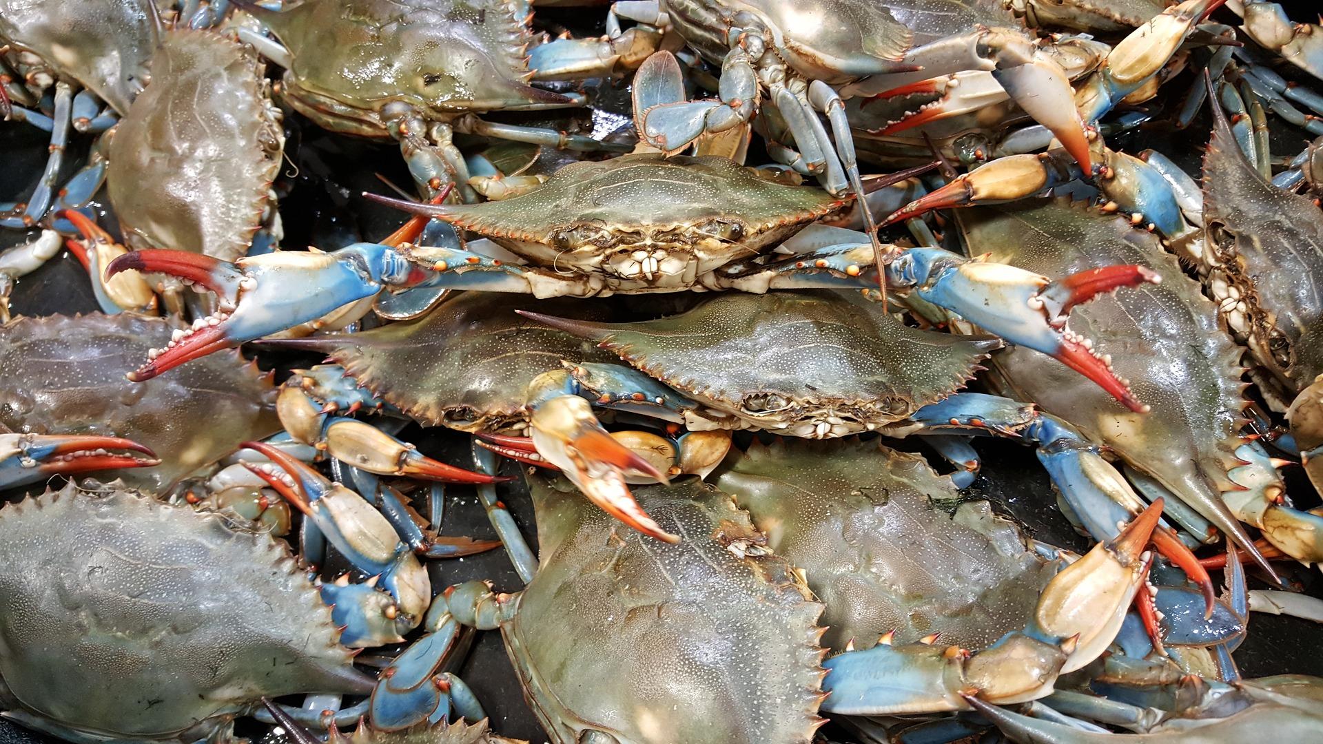 Le Crabe bleu envahi les côtes Espagnoles